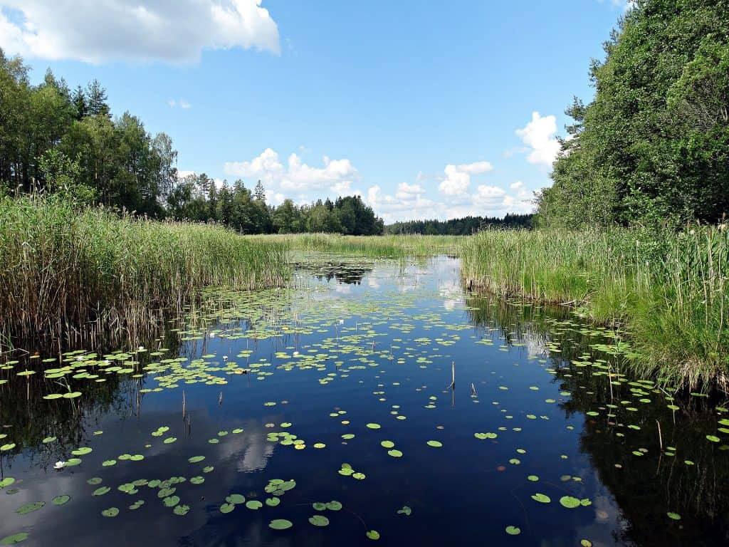 roseliere pêche carpe étang
