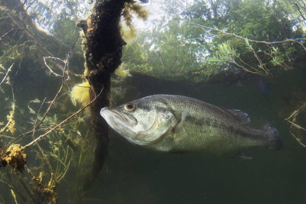 habitat du black bass