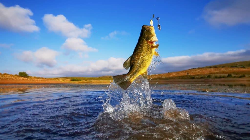 black bass combat pêche